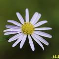 Photos: ユウガギク(柚香菊) 22102020