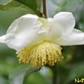 チャノキ(茶の木) 22102020