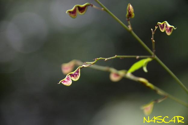 Photos: ヌスビトハギ(盗人萩) 22102020