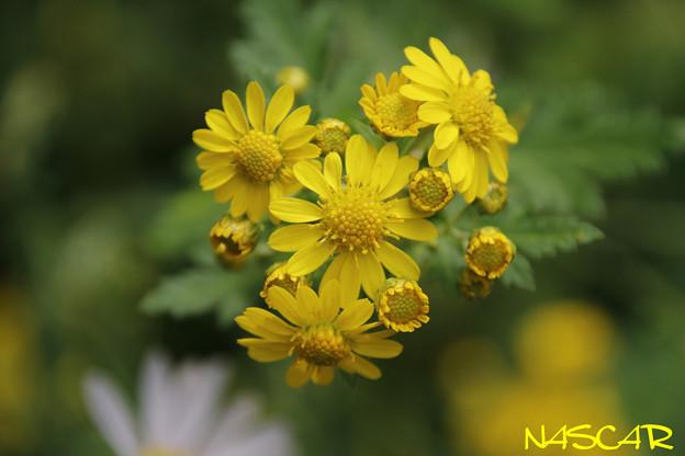 アワコガネギク(泡黄金菊) 28102020