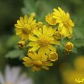 Photos: アワコガネギク(泡黄金菊) 28102020