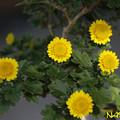 Photos: 盆栽菊「黄虎」 04112020