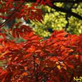 ハゼノキ(櫨の木、黄櫨の木) 11112020