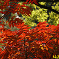 Photos: ハゼノキ(櫨の木、黄櫨の木) 11112020