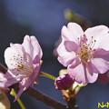 カワヅザクラ(河津桜) 20022021