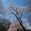 Photos: 脇の桜
