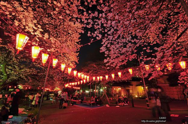 夜桜(明るく)