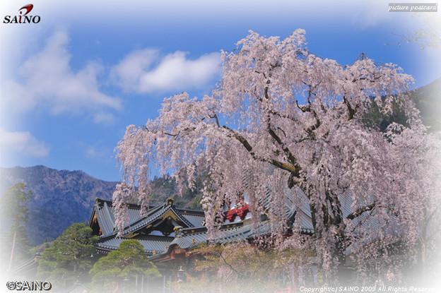 桜の写真 身延山 久遠寺