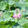 O池のハスカワ