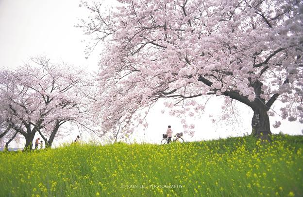 【 櫻の恋 】 。 午後/ 悠?