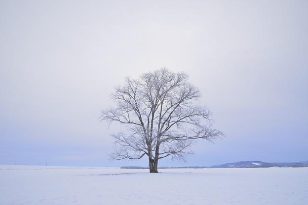 北海道 豊頃町。ハルニレの木