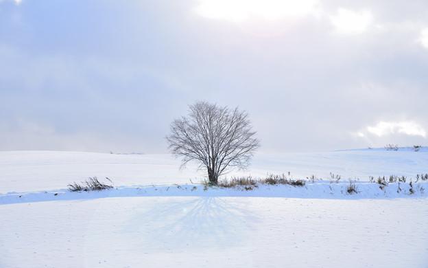 北海道 美瑛。不知名の樹