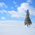 写真: 北海道 美瑛。聖誕の樹
