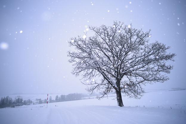 写真: 北海道 美瑛。七星の樹
