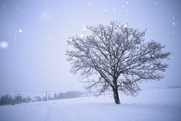 北海道|美瑛。七星の樹