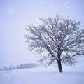 ????: 北海道|美瑛。七星の樹