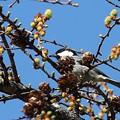 Photos: 落葉松の芽吹き