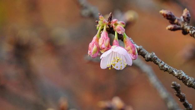 12月の桜