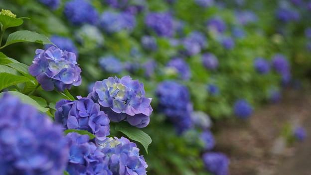 紫陽花 2018