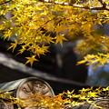 Photos: 黄色いモミジ