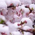 Photos: 雪と桜
