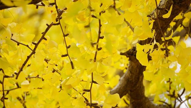 紅葉 - 黄