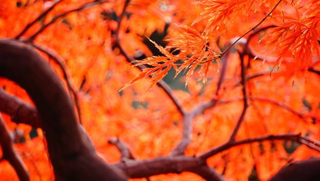 紅葉 - 橙