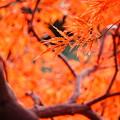 Photos: 紅葉 - 橙