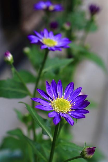 ♪都忘れの花のように
