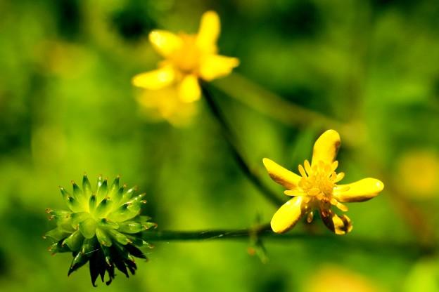 小っちゃな黄花