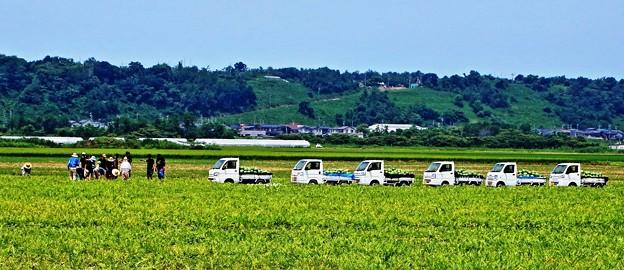 石川スイカ 収穫