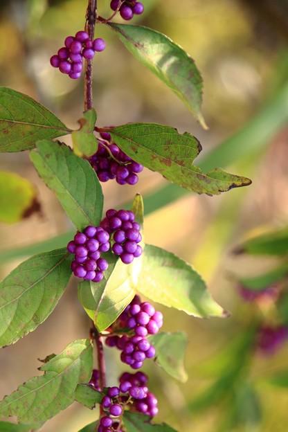 写真: 実りの秋 紫