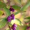 Photos: 実りの秋 紫
