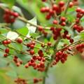写真: 実りの秋 赤