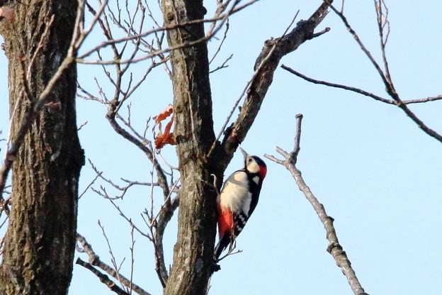 鳥撮り07 アカゲラ