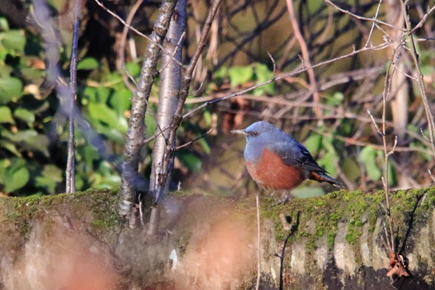 鳥撮り11 イソヒヨドリ