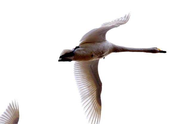 鳥撮り31 ハクチョウ