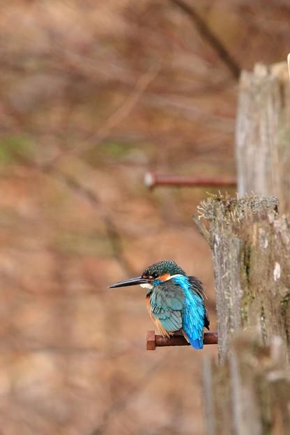 鳥撮り32 カワセミ復帰