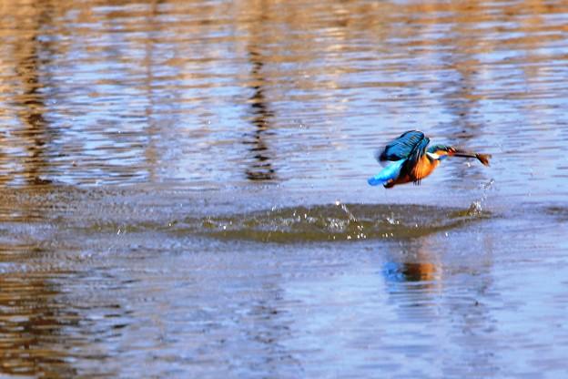 鳥撮り35 カワセミ