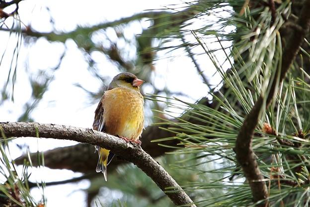 鳥撮り36 カワラヒワ