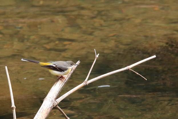 鳥撮り40 キセキレイ