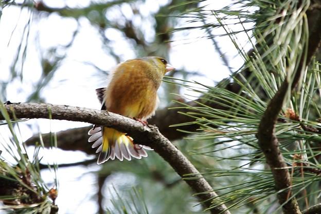 鳥撮り42 カワラヒワ