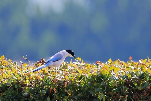 鳥撮り43 オナガ
