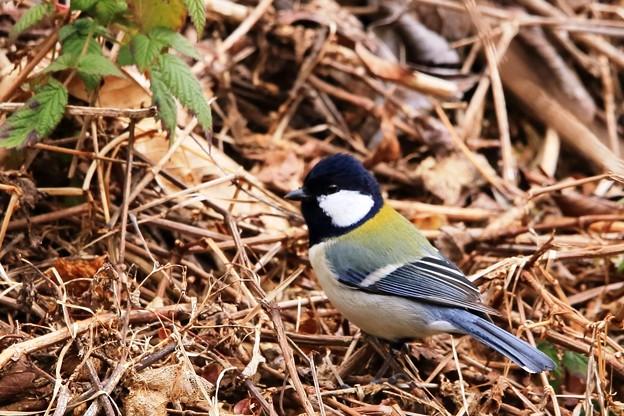 鳥撮り44 シジュウカラ
