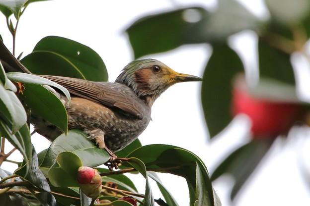 鳥撮り49 ヒヨドリ