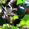 鳥撮り50 エナガ