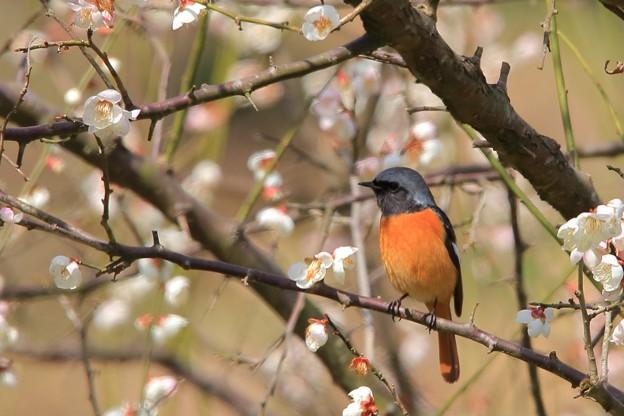 鳥撮り51 ジョウビタキ