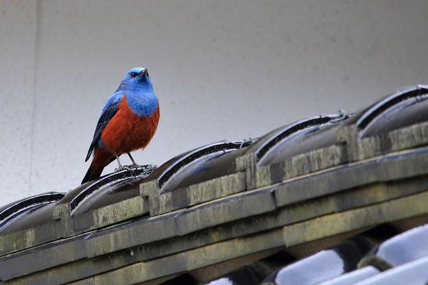 鳥撮り65 イソヒヨドリ
