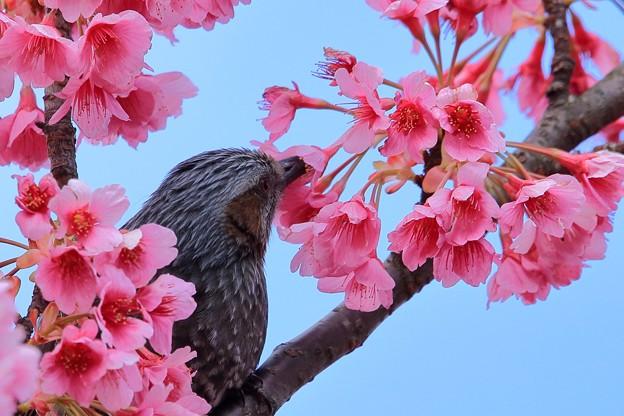 鳥撮り067 ヒヨドリ