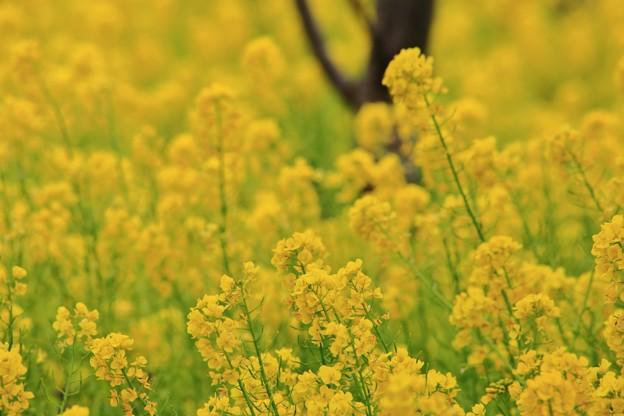 黄色の揺らぎ